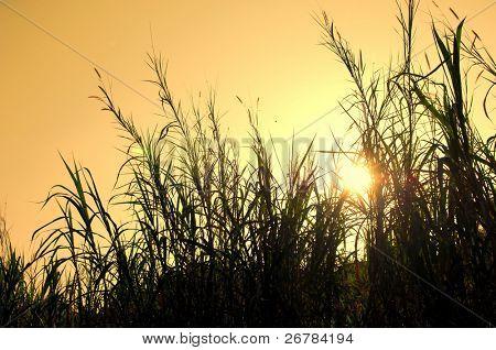 The bulrushes against sunlight over sky background in sunset