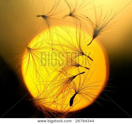 Some dandelion seeds fly away on a sunset  background