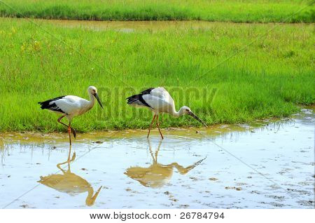 storks with gree grass colors in the background (See more birds in my portfolio).