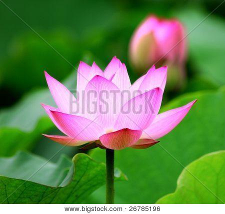 blooming lotus flower over dark background.See more lotus in my portfolio