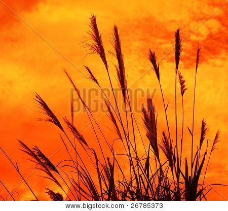 The bulrushes against sunlight over sky background in sunset.