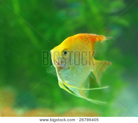 Tropical fish in an aquarium with water on background