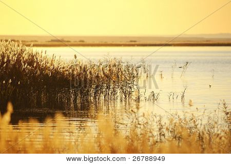 reed stalks in the swamp against sunlight.