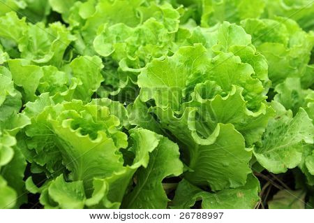 lettuce seedlings in a field