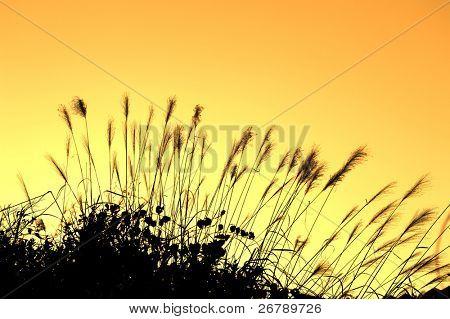 Reed Stiele in den Sümpfen gegen Sonnenlicht.