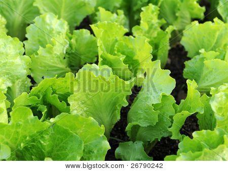 Lettuce seedlings in a field in asia