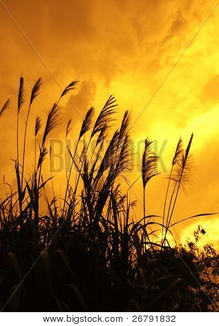 reed stalks in the swamp against sunlight
