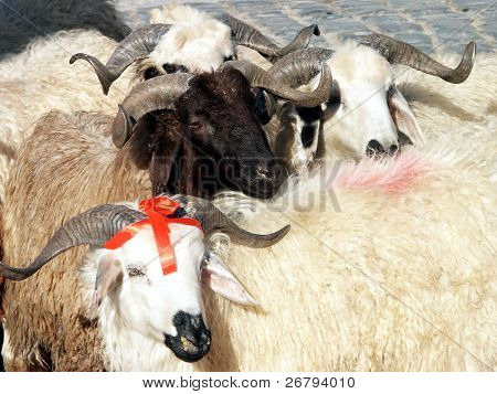 close up image of sheep and aries