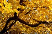 Fall Color, Black Elm (also Known As Cork Elm) poster