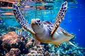 Sea turtle swims under water on the background of coral reefs. Maldives Indian Ocean coral reef. poster
