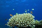 Acropora coral head poster