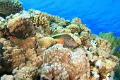 picture of hawkfish  - Forster - JPG