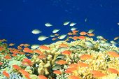stock photo of damselfish  - Damselfishes and Anthias on a coral reef at the Blue Hole in Egypt - JPG