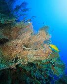 foto of molly  - Gorgonian Fan Coral  - JPG