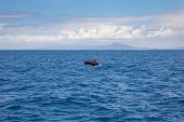 Pilot Whale, Blackfish Or Cetaceans In The Family Globicephala, Swimming And Jumping In Blue Water O poster