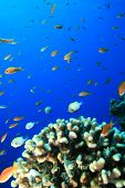 Damselfishes and Anthias and Acropora Coral poster