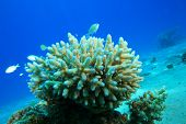 Acropora Coral and Damselfish poster