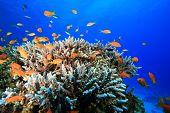 Lyretail Anthias and Acropora Coral poster