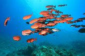 stock photo of bigeye  - Shoal of Crescent - JPG