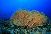 picture of molly  - Giant Sea Fan Corals  - JPG