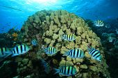 stock photo of sergeant major  - School of Scissortail Sergeant fish beside Brain Coral in the Red Sea - JPG
