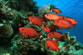 stock photo of bigeye  - School of Fish - JPG