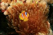 foto of coral reefs  - Red Sea Anemonefish  - JPG