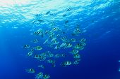 pic of sergeant major  - Shoal of Scissortail Sergeant fishes in blue water - JPG