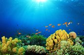 picture of coral reefs  - Tropical Fish and Coral Reef in Sunlight - JPG