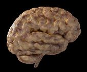 pic of temporal lobe  - 3D Illustration of a fresh moist brain - JPG
