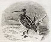 foto of snipe  - Old illustration of a snipe  - JPG