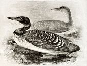 image of loon  - Old naturalistic illustration of Great Northern Loon  - JPG