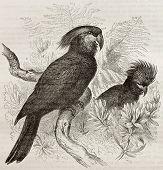 image of palm cockatoo  - Old illustration of Palm Cockatoo  - JPG
