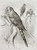 Old illustration of Budgerigar (Melopsittacus undulatus). Created by Kretschmer and Jahrmargt, publi