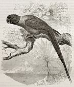 foto of ringneck  - Old illustration of Rose - JPG