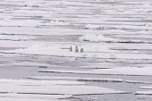 Polar Bear (ursus Maritimus) Mother And Twin Cubs On The Pack Ice, North Of Svalbard Arctic Norway poster