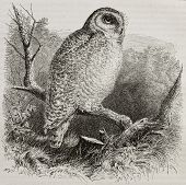 Old illustration of Snowy Owl (Bubo scandiacus). Created by unidentified author, published on Mervei