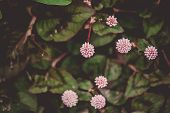 Small Round Flowers In The Shape Of A Pink Ball, Seven Pieces Surrounded By Green Foliage With Dark  poster