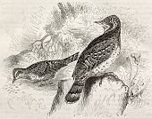 Eurasian Wryneck old illustration (Jinx torquilla). Created by Kretschmer and Schimd, published on M