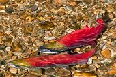 foto of spawn  - Colorful Spawning Salmon swimming in river - JPG