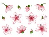 Vector Spring Blossom Pink Flower Set. Flower And Bud Realistic Illustrations Peach Blooming, Aprico poster