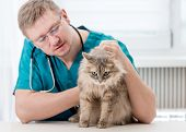 Veterinarian checking up grey cat at veterinary office. Veterinary doctor regular check-up for a cat poster