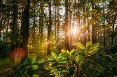 Beautiful Sunset Sunrise Sun Sunshine In Sunny Summer Mixed Forest. Sunlight Sunbeams Through Woods  poster