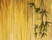 Постер, плакат: Светло Золотой бамбука фоне отлично подходит для любого проекта кадр из листьев бамбука фона Пожалуйста уделите