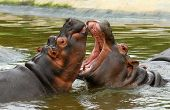 stock photo of sub-saharan  - Sparring Hippos - JPG