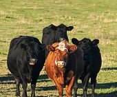 A Herd Of Angus Beef Cattle - One Red And Three Black Grazing In Pasture On Sunny Day poster