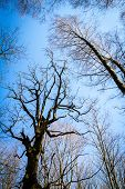 Oak Tree Branches With No Leaves Against Blue Sky. Silhouette Of Oak Tree Branches poster