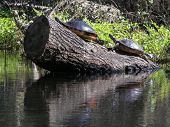 foto of cooter  - turtles sunning on a swampy river in florida - JPG