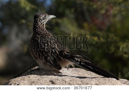 roadrunner sunning on a rock