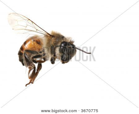 Common Honeybee On White Background